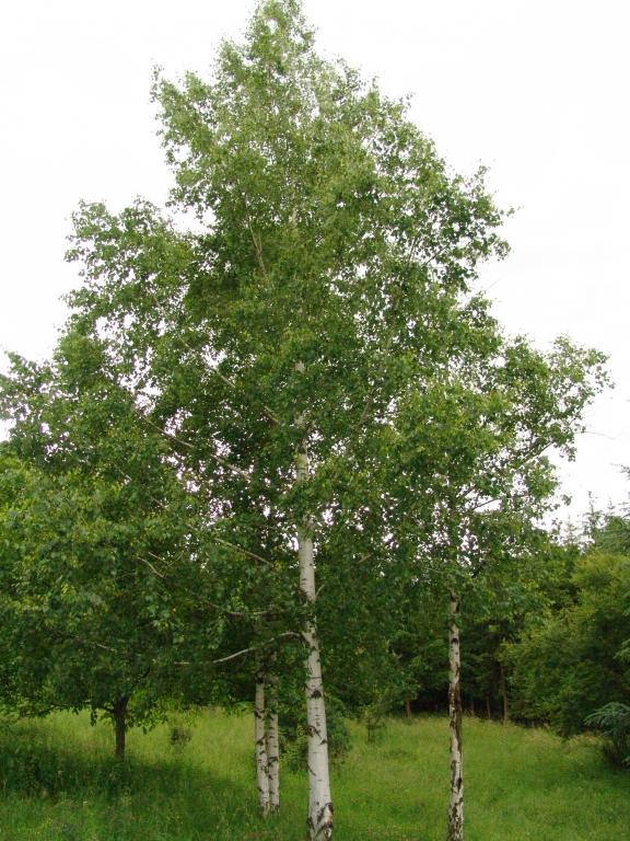 Betula Pendula Silver Birch