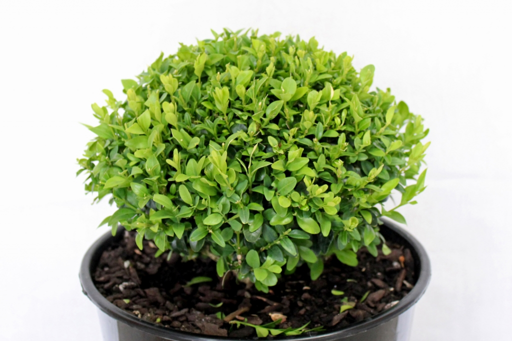 Buxus Sempervirens - Topiary
