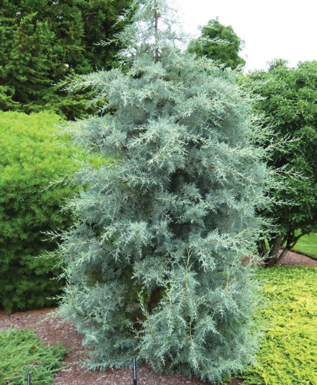 Cupressus Blue Ice