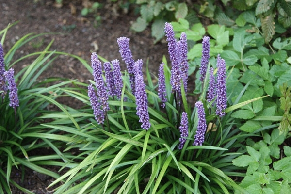 Liriope muscari Blue Skies
