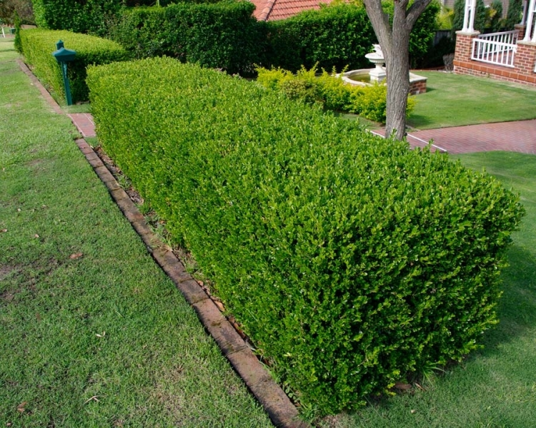 Buxus Sempervirens - Box Hedging