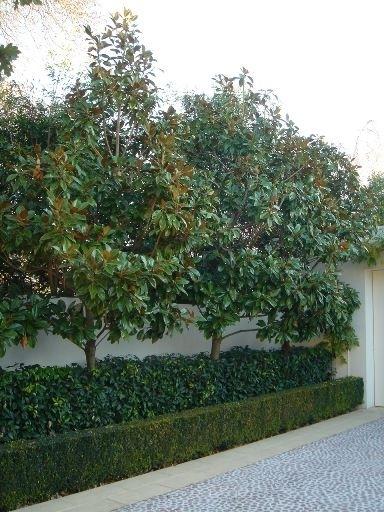 Magnolia Little Gem 3 Litre Pot 50cm Tall