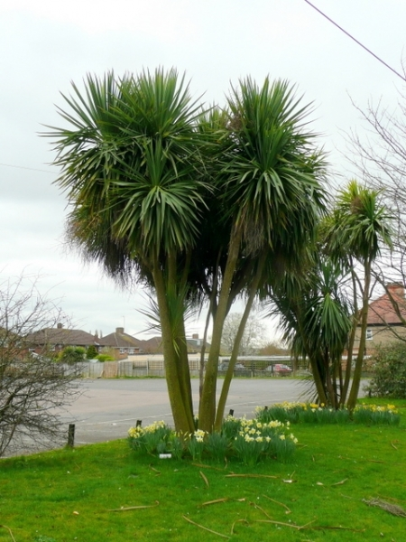 Cordyline australis - Cabbage Tree