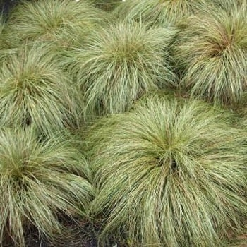 Carex comans Frosted Curl