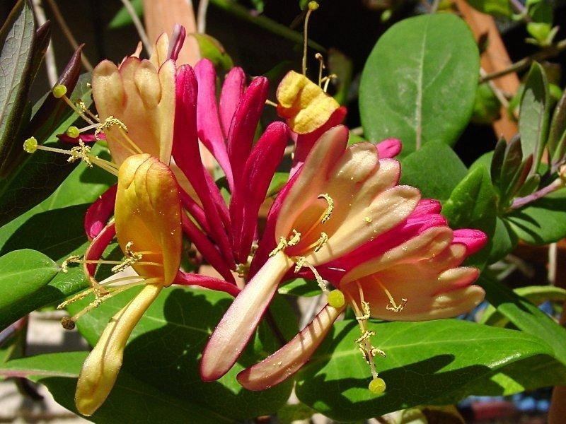 Lonicera Goldflame