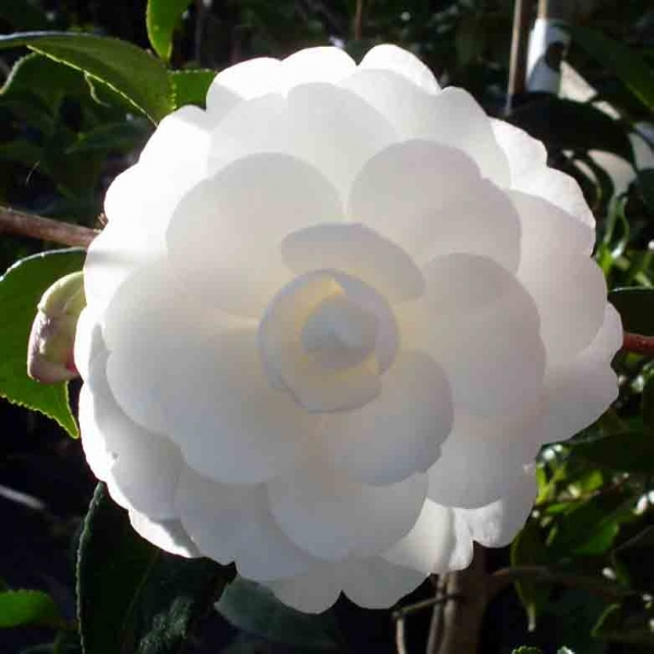 Camellia Early Pearly