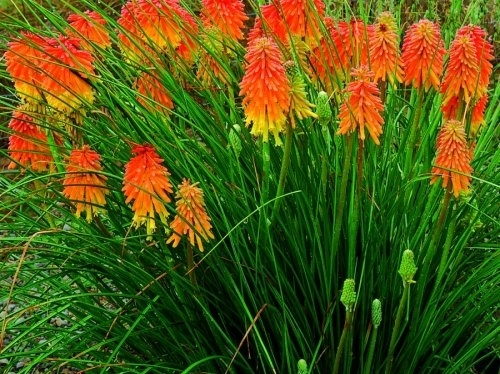Kniphofia Poker Face