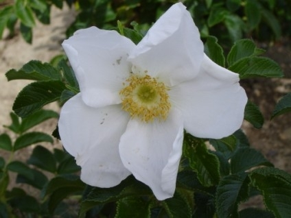 Rose Rugosa Alba - Rugosa - New Season