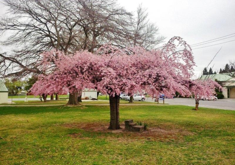 Prunus Pendula Rosea - Weeping Flowering Cherry