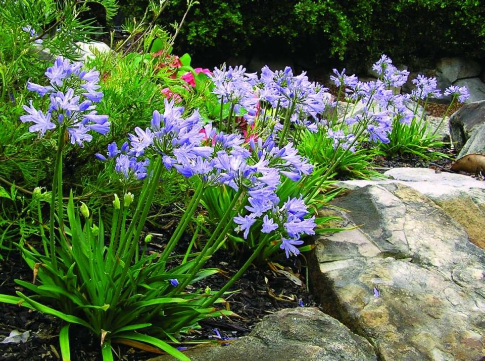 Agapanthus Baby Pete- Dwarf African Lily