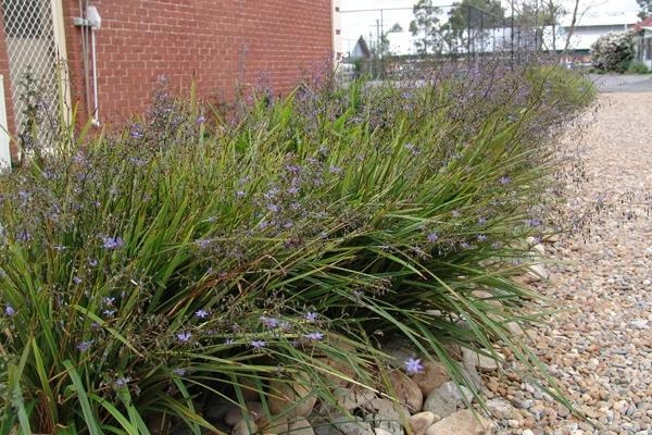 Dianella revoluta Revelation- Black-anther Flax-lily