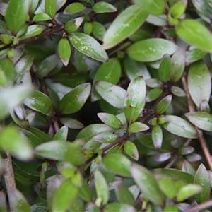 Coprosma Black Cloud