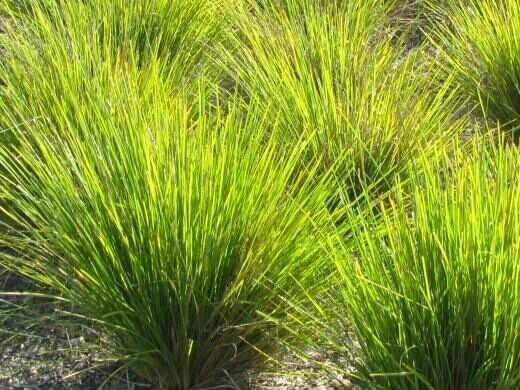 Lomandra Dalliance