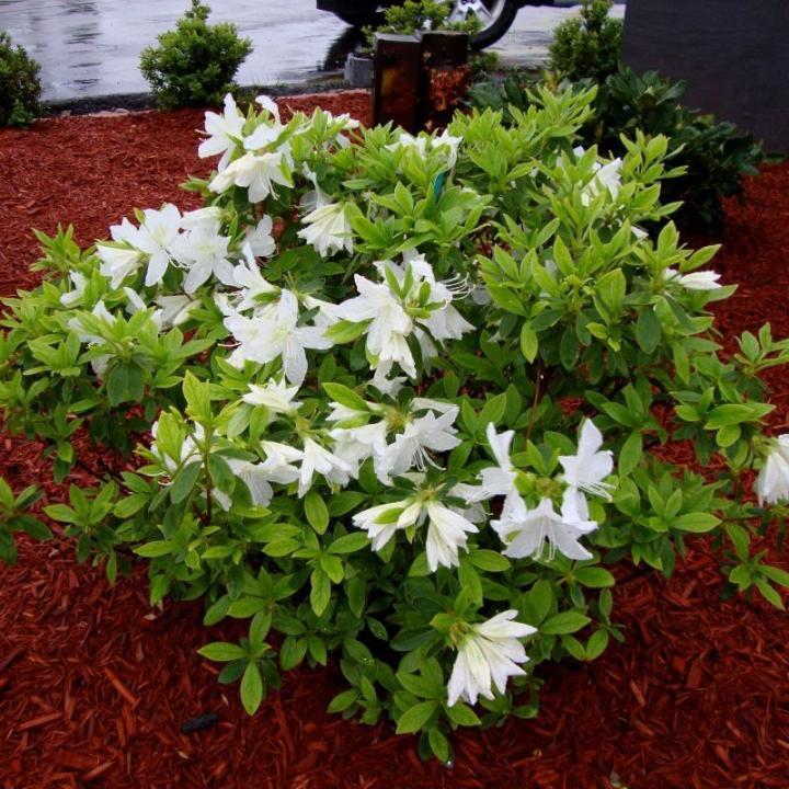Azalea Autumn Lily