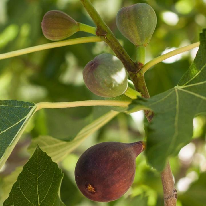 Fig Sweet Black