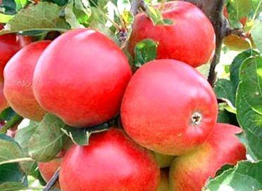 Apple Hetlina (Semi Dwarf)
