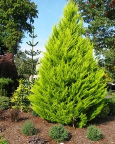 Cupressus Golden Pillar