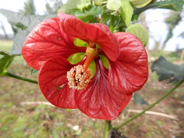 Abutilon Ashford Red