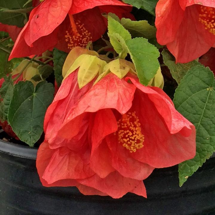 Abutilon Patio Lantern Passion