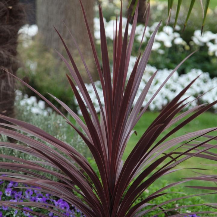 Cordyline Red Star - Red Cabbage Tree