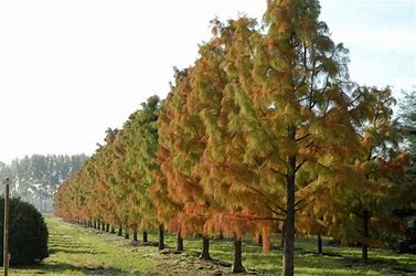 Taxodium distichum - Swap Cypress