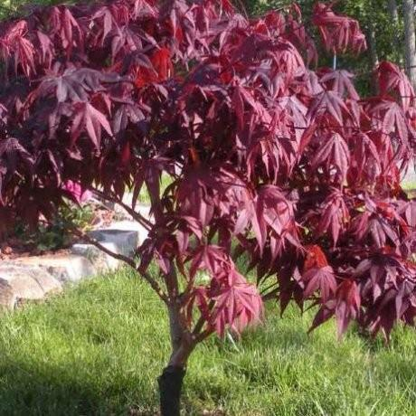 Acer Red Emperor