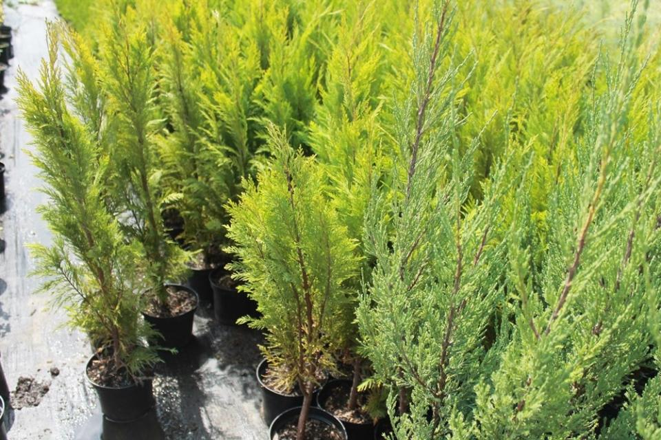 Chamaecyparis lawsoniana Yellow Transparent