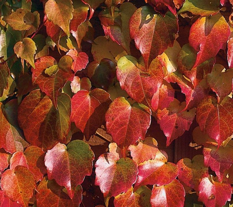 Parthenocissus Beverly Brooks