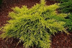 Juniper chinensis Kuriwao Gold
