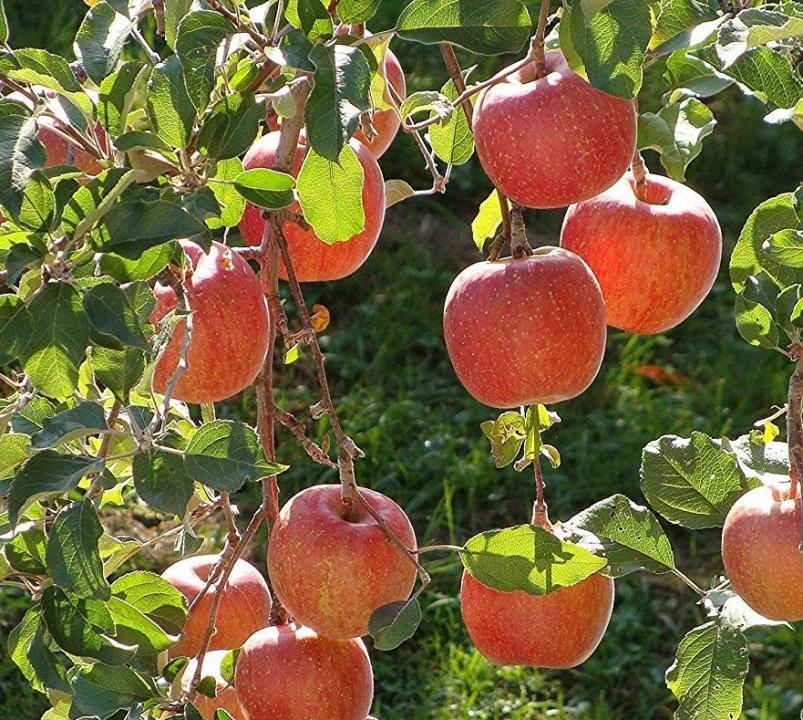 Apple Braeburn