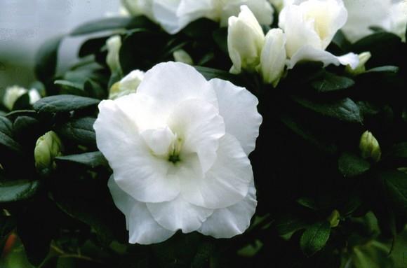 Azalea Aline Evergreen Azalea