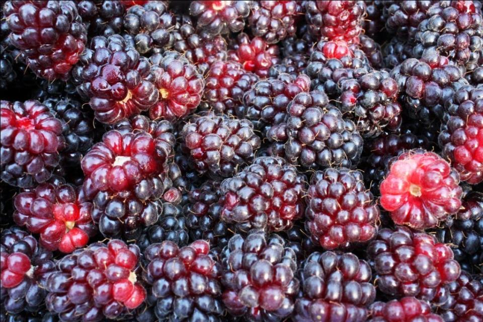 Boysenberry McNichols Choice