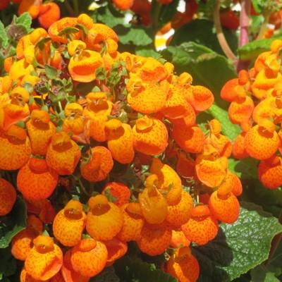 Calceolaria Sunny Walker Orange