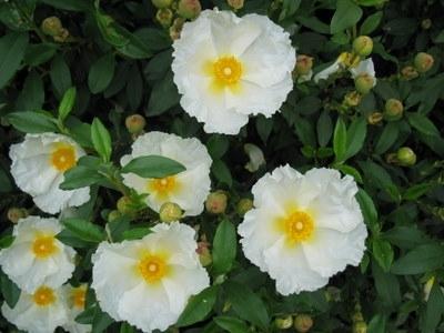 Cistus Bennetts White Rock Rose