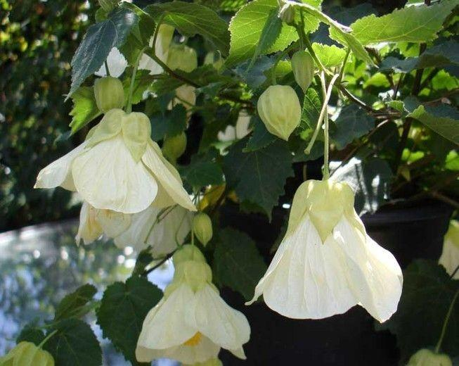 Abutilon Moon White