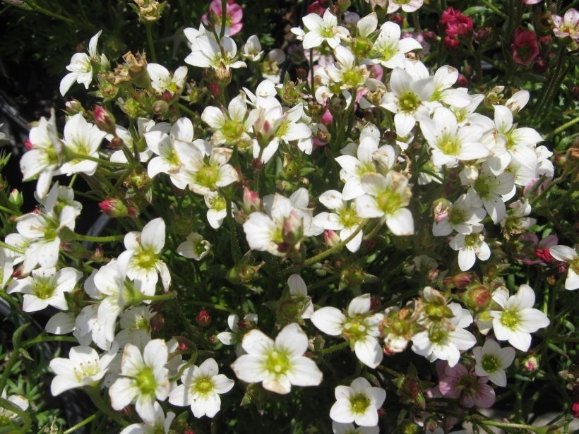 Saxifraga Snow Carpet