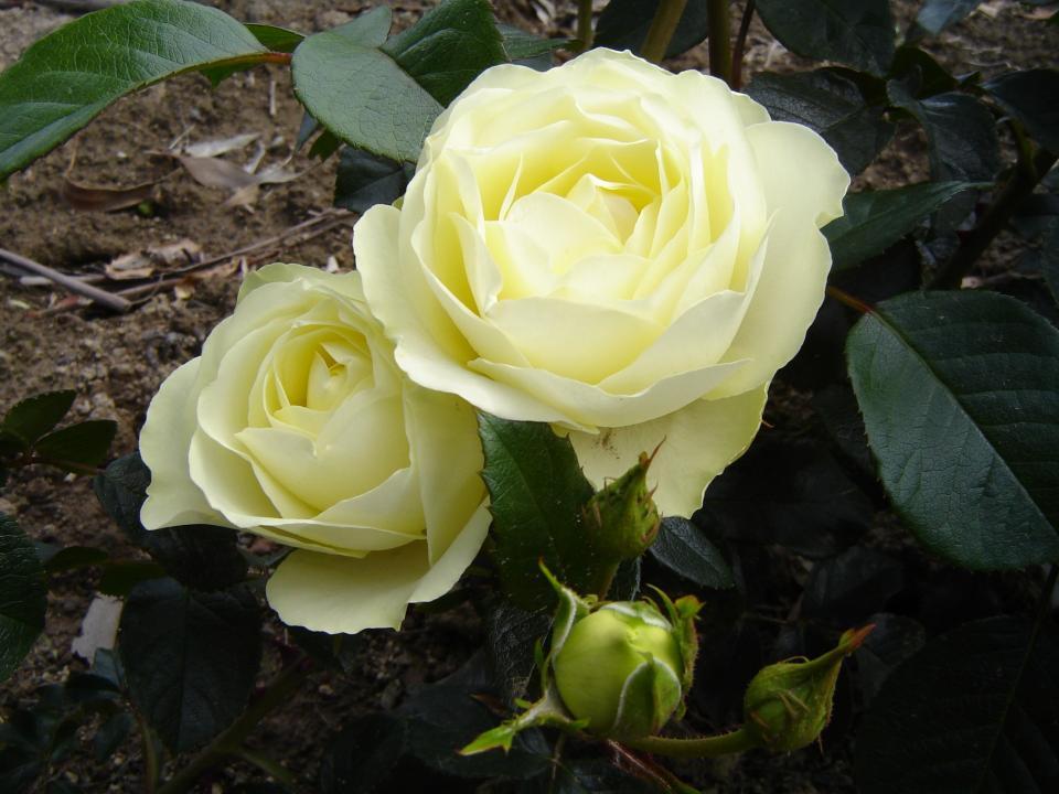 Rose Lemon 'n Lime