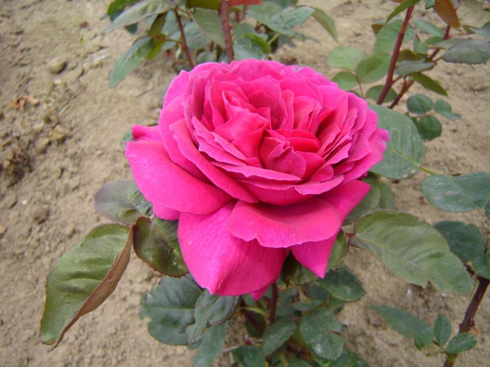 Rose Big Purple