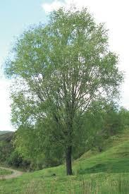 Salix Moutere - Willow x 25 $3.60 per Tree