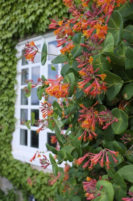 Lonicera Fire Cracker - Honeysuckle