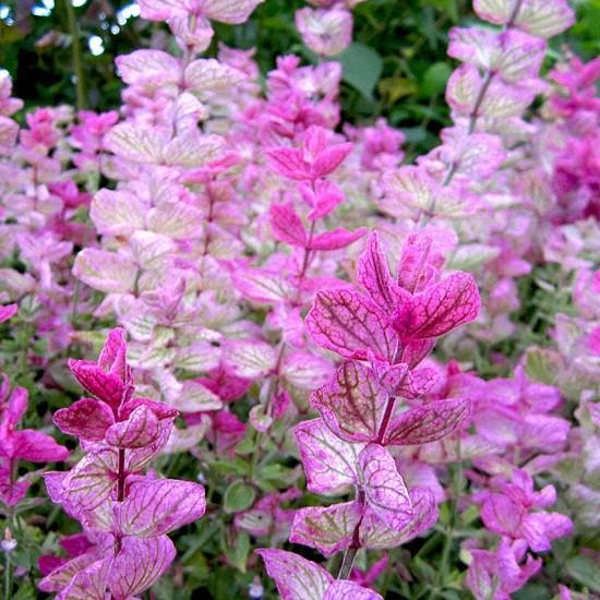 Clary Sage Pink 6 x 6 Pack