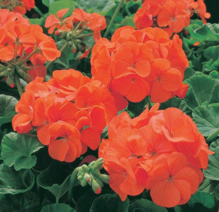 Geranium Maverick Orange 6 x 6 Pack