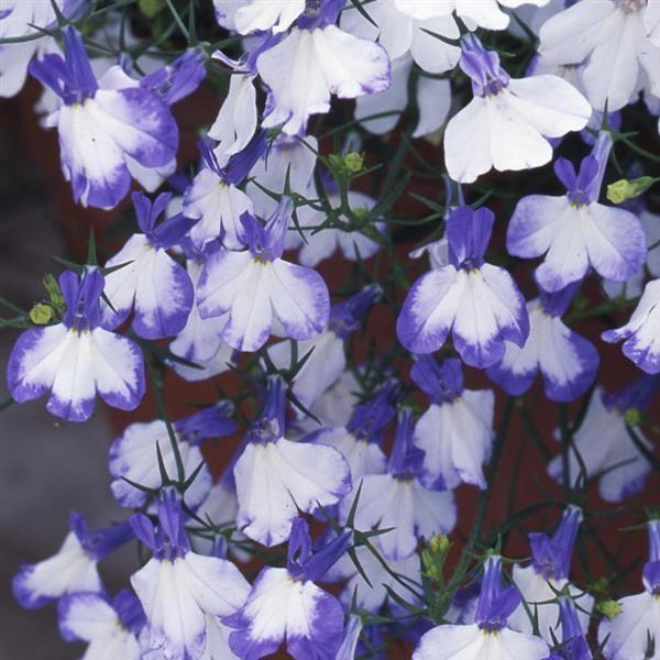 Lobelia Blue Splash 6 x 6 Pack