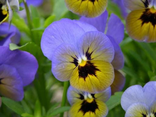 Viola Penny Marlies 6 x 6 packs