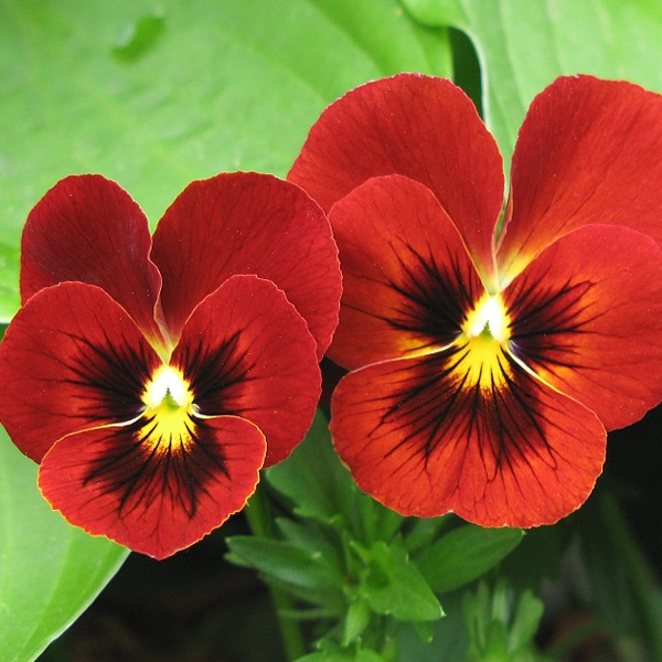 Viola Penny Red Blotch 6 x 6 packs