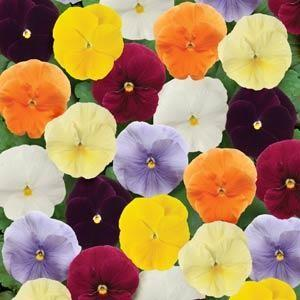 Pansy Clear Sky Mixed 6 x 6 Pack