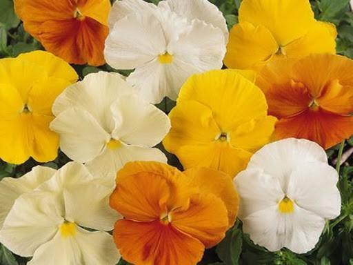 Pansy Delta Oranges and Lemons 6 x 6 Pack