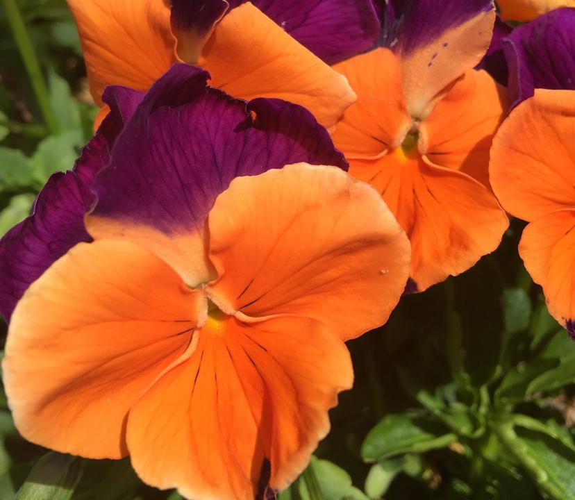 Pansy Jolly Joker 6 x 6 Pack