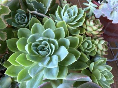 Echeveria rosea Star Green