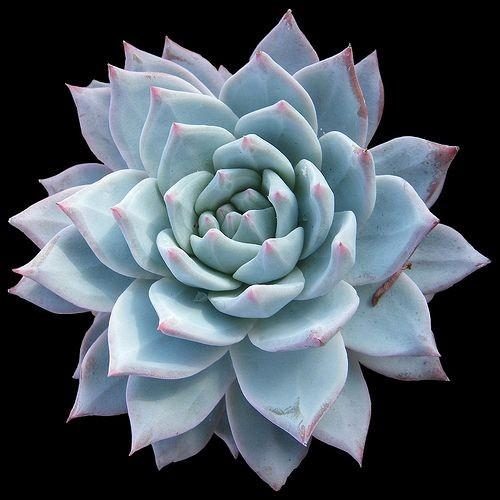Echeveria rosea Blue Bird